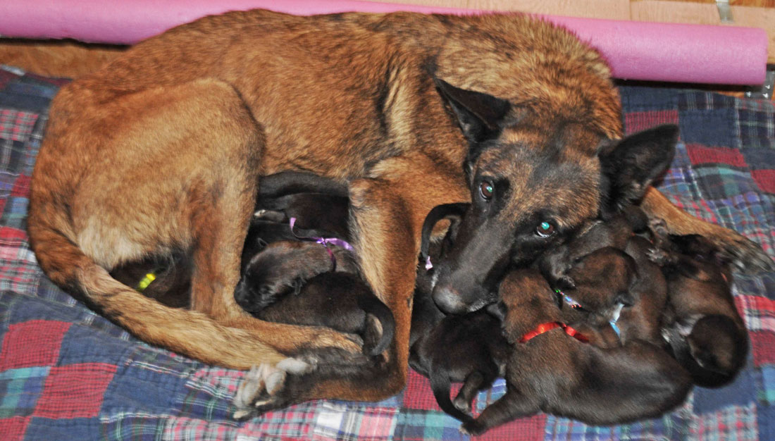 Malinois Dam With Puppies