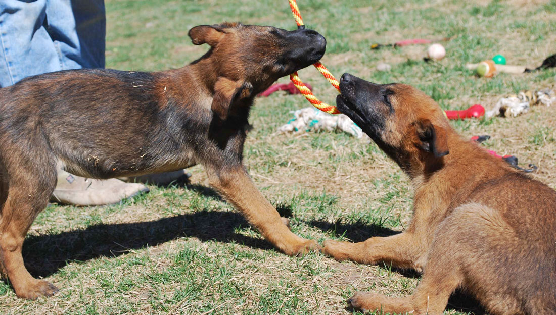 Belgian Malinois Puppies For Sale Ruidoso Malinois