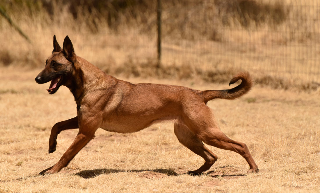 Tara | Belgian Malinois Personal Protection Dogs For Sale ...